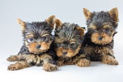 Three puppies Yorkshire Terrier Stock Images