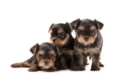 Three puppies of the Yorkshire Terrier Stock Photo