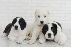 Three puppy Alabai on a white background in studio. Three sweet puppy Alabai on a white background in studio Stock Photo