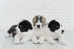 Three puppy Alabai on a white background in studio. Three sweet puppy Alabai on a white background in studio Stock Images