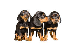 Three puppy breed Slovakian Hund Royalty Free Stock Image