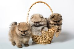 Three puppy dog in basket royalty free stock image