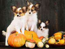 Three puppy with pumpkin Stock Photography