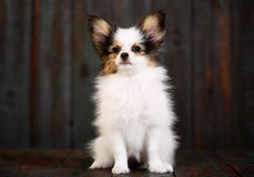 Three puppy with pumpkin Royalty Free Stock Images