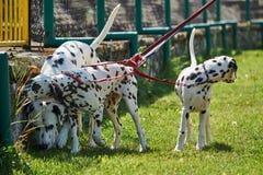 Three purebred Dalmatians dogs on leashe. S stock photo