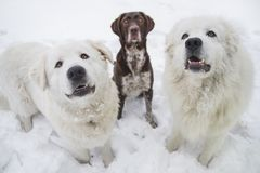 Three purebred dogs sit on the snow royalty free stock photos