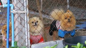 Three purebred little dogs bark viciously behind the fence of the grid in a cage on the street. Slow Motion. In 96 fps. Japanese Chihuahua. Thailand stock video