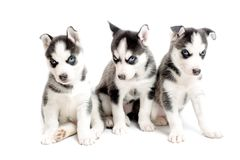 Three purebred siberian husky puppies Royalty Free Stock Photos