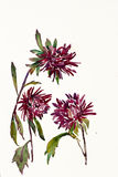 Three purple asters. Witha stems watercolor painting Stock Image