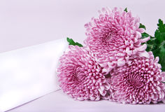 Three purple chrysanthemums and postcard Royalty Free Stock Photo