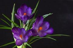 Three Purple Crocus Royalty Free Stock Images