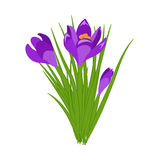 Three purple crocus blooming flowers on white. Spring colorful plants with buds close up. Crocus flowers signs for greeti vector illustration