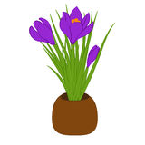 Three purple crocus in brown pot isolated on white background. Bouquet with crocus. Vector illustration Stock Photos
