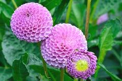 Three purple Dahlias Royalty Free Stock Photos