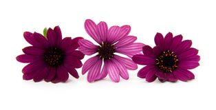 Three purple daisy flowers Stock Photo