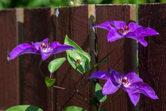 Three purple flowers on a branch on fence Royalty Free Stock Images