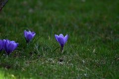 Three purple flowers in a garden stock photo