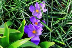 Three purple flowers in the green leaves of the grass stock images