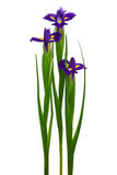 Three purple iris Royalty Free Stock Images
