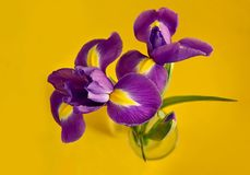 Three purple iris on a yellow background. Additional colors. Beautiful bouquet.  stock images
