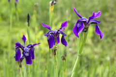 Three Purple Irises. Three bright purple irises in a meadow filled with flowers Royalty Free Stock Photo
