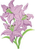 Three purple lilies Stock Photography