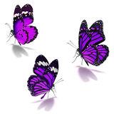 Three purple monarch butterfly. Isolated on white background stock photography