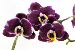 Three purple orchid. Isolated on white background royalty free stock images