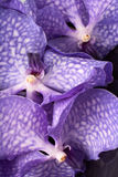 Three purple orchid flowers Royalty Free Stock Photos