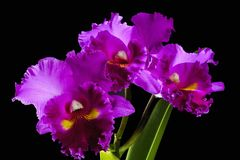 Three purple orchids on stem Royalty Free Stock Photos