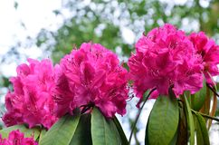 Three Purple  Rhododendron heads Royalty Free Stock Photography