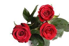 Three purple roses Stock Images