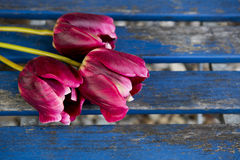 Three purple tulips on a blue rustic table Royalty Free Stock Photos