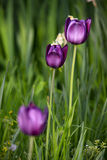 Three purple tulips Royalty Free Stock Images