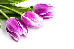 Three purple tulips isolated on white. Background Stock Photos