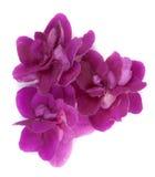 Three purple violets Stock Image
