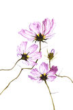 Three purple watercolor flowers on white background Royalty Free Stock Image