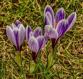 Three purple-white crocus flowers looking from above stock photos