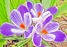 Three purple white crocuses. Close-up of three purple white crocuses with orange stemons stock photography