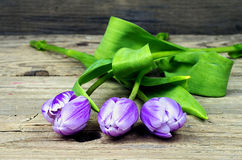Three purple white tulips Royalty Free Stock Images