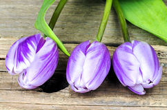 Three purple white tulips Royalty Free Stock Photography