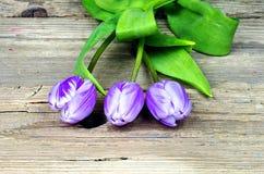 Three purple white tulips Stock Photo