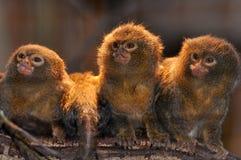 Three Pygmee-oeistities (Callithrix pygmaea). Pygmee-oeistities (Callithrix pygmaea) on a row Royalty Free Stock Photography