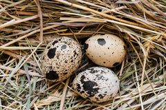 Three Quail Eggs in Hay Nest stock photos