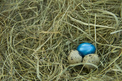 Three quail eggs on the hay. With small quail eggs lie in the dry grass, one egg is made in a bright blue color royalty free stock photos