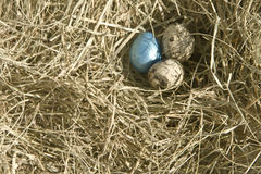 Three quail eggs on the hay. With small quail eggs lie in the dry grass, one egg is made in a bright blue color Royalty Free Stock Image