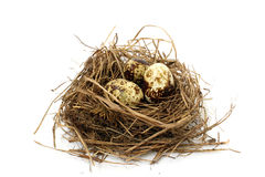Three quail eggs. In a nest of dried grass Stock Image