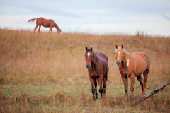 Three quarter horses in pasture Royalty Free Stock Photography
