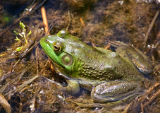 Three quarter view of half submerged bull frog. Three quarter top view of a bull frog facing left, resting on brown plant matter, half submerged in clear water stock photos