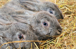 Three rabbit Stock Photography